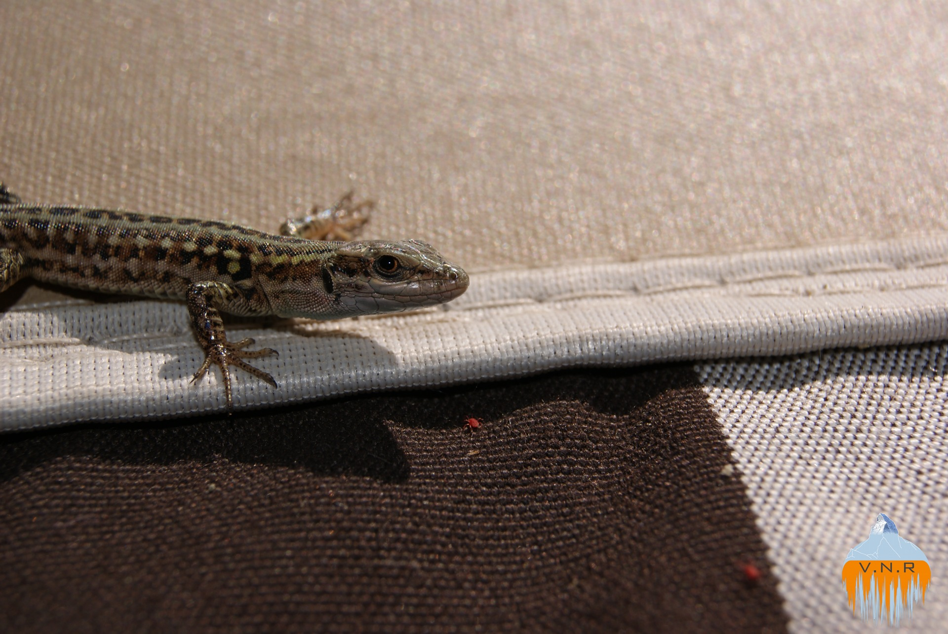 Italian lizard